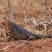 santa-fe-iguana-chonolophus-pallidus-02