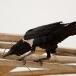 schildraaf-pied-crow-02