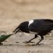 schildraaf-pied-crow-03