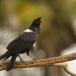 schildraaf-pied-crow-05