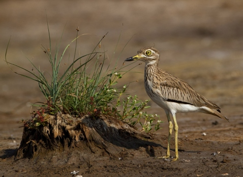senegal-griel-senegal-thick-knee-04