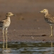 senegal-griel-senegal-thick-knee-01