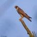 Slechtvalk - Peregrine Falcon 05