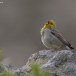 Smyrnagors- Cinereous Bunting 07