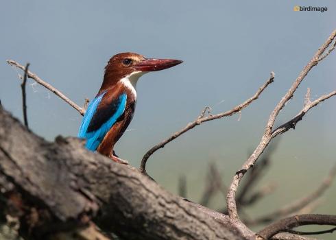 Smyrna-ijsvogel-White-throated-kingfisher-03