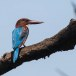 Smyrna-ijsvogel-White-throated-kingfisher-02