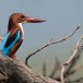 Smyrna-ijsvogel-White-throated-kingfisher-04