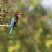 Smyrna-ijsvogel-White-throated-kingfisher-06