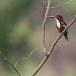 Smyrna-ijsvogel-White-throated-kingfisher-08