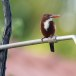 Smyrna-ijsvogel-White-throated-kingfisher-10