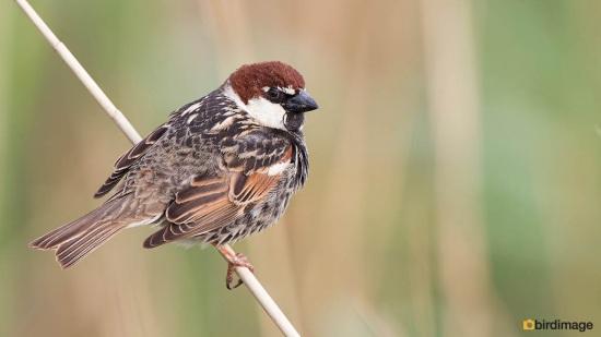Spaanse mus - Spanish Sparrow 08