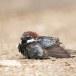 Spaanse-mus-Spanish-Sparrow-09