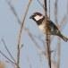 Spaanse-mus-Spanish-Sparrow-10