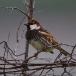 spaanse-mus-spanish-sparrow-01