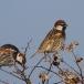 spaanse-mus-spanish-sparrow-02