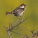 spaanse-mus-spanish-sparrow-04