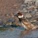 spaanse-mus-spanish-sparrow-06