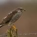 sperwer-sparrowhawk-02