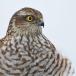 sperwer-sparrowhawk-08