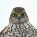 sperwer-sparrowhawk-09