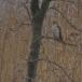 sperwer-sparrowhawk-10