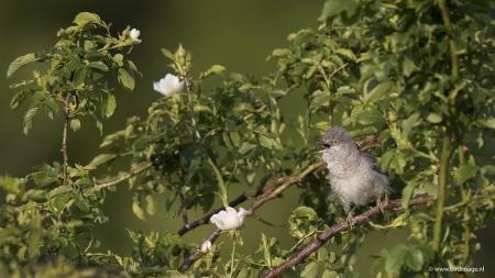 Sperwergrasmus - Barred Warbler 12