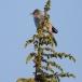 sperwergrasmus-barred-warbler-02