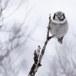 Sperweruil-Northern-Hawk-owl-08