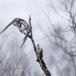 Sperweruil-Northern-Hawk-owl-09