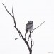 Sperweruil-Northern-Hawk-owl-10