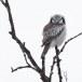 Sperweruil-Northern-Hawk-owl-11