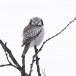 Sperweruil-Northern-Hawk-owl-12