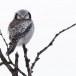 Sperweruil-Northern-Hawk-owl-13