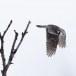Sperweruil-Northern-Hawk-owl-14