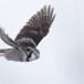 Sperweruil-Northern-Hawk-owl-15