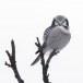 Sperweruil-Northern-Hawk-owl-16
