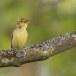 Spotvogel-Icterine-Warbler-09