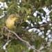 Spotvogel-Icterine-Warbler-10