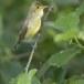 Spotvogel-Icterine-Warbler-11