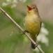 spotvogel-icterine-warbler-05
