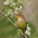 spotvogel-icterine-warbler-06