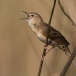 sprinkhaanzanger-grasshopper-warbler-03