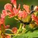 staalborsthoningzuiger-olive-backed-sunbird-03