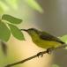 staalborsthoningzuiger-olive-backed-sunbird-04