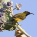staalborsthoningzuiger-olive-backed-sunbird-08