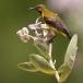 staalborsthoningzuiger-olive-backed-sunbird-09