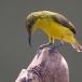staalborsthoningzuiger-olive-backed-sunbird-14