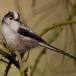 staartmees-long-tailed-tit-02