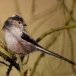 staartmees-long-tailed-tit-03