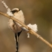staartmees-long-tailed-tit-06